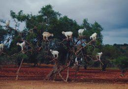 Козлы на дереве - живые обои